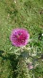 Beautiful thistle flowers in the french alps mountain. Royalty Free Stock Image