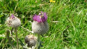 Beautiful thistle in the french alps mountain. stock photos
