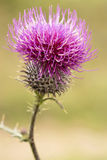 Beautiful thistle purple flower Stock Photos