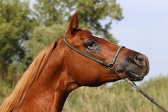 Beautiful thoroughbred arabian horse head at farm Royalty Free Stock Photography