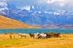 Beautiful thoroughbred horse grazing. In a meadow near the lake. On the horizon, towering cliffs Torres del Paine Stock Photography