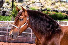 Beautiful thoroughbred horse Hanoverian Stock Photos
