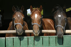 Beautiful thoroughbred horses at the barn door Stock Photography