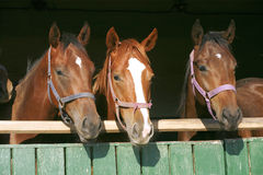 Beautiful thoroughbred horses at the barn door. Stock Images