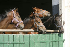 Beautiful thoroughbred horses at the barn door. Royalty Free Stock Image