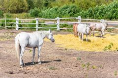 Beautiful thoroughbred horses walking and grazing at farm corral . Idyllic rural landscape Stock Photo