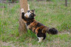Beautiful three-colored fluffy cat stretches of tree. Beautiful tricolor green-eyed fluffy cat stretches of tree standing on its hind legs Royalty Free Stock Image