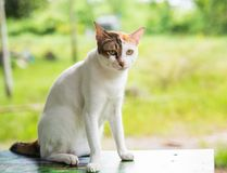 Beautiful three colors thai cat  on the table happily natural ba Royalty Free Stock Photography