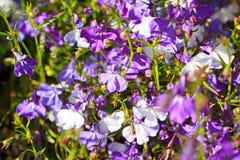 Beautiful three colour lobelia Stock Photo