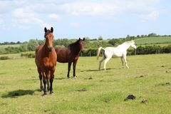 Beautiful three different colour horses royalty free stock image