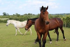 Beautiful three horses in greeny royalty free stock photography