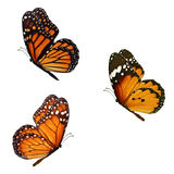 Beautiful three monarch. Butterfly flying isolated on white background Royalty Free Stock Photo