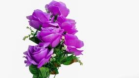 Rose - Flower. Beautiful three purple roses on white background Stock Photography