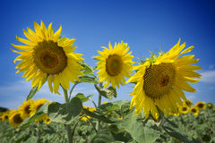 Beautiful three sunflowers Stock Photos