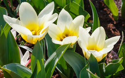 Beautiful three white-yellow tulips close-up Stock Image