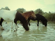 Beautiful three wild horses near water Royalty Free Stock Photo