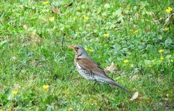 Thrush bird on green grass, Lithuania. Beautiful thrush bird on green grass in summer Royalty Free Stock Photography