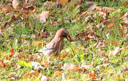 Thrush bird on autumn  grass, Lithuania Royalty Free Stock Photography