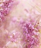 Beautiful thyme Stock Photos