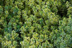 A beautiful Thymus in a green soil background. Beautiful Thymus flower with short green leaves, growing in the Euroflora flower exhibition in Genoa, Italy stock photos