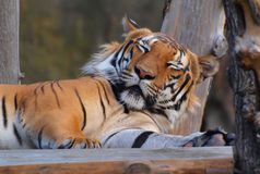 Beautiful tiger Royalty Free Stock Photo