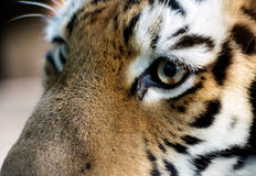 Beautiful tiger Royalty Free Stock Image