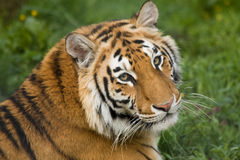Beautiful tiger. In the grass Stock Images