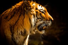 Free Beautiful Tiger Against Dark Background Royalty Free Stock Image - 130413676