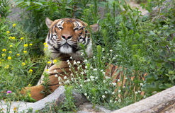 A beautiful tiger Stock Images