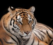 Beautiful tiger. On a black background Stock Photos