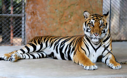 Beautiful tiger Stock Photo