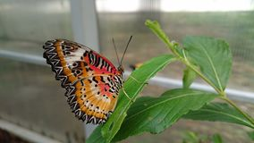 Beautiful & x22;tiger& x22; butterfly royalty free stock photos