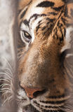Beautiful tiger in captivity Stock Photography