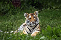 Beautiful Tiger Cub. Amur Tiger Cub with beautiful markings laying in the grass Stock Photos