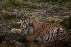 Beautiful tiger cub resting on tjhe ground Royalty Free Stock Photography