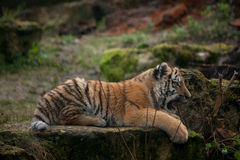 Beautiful tiger cub resting on tjhe ground Royalty Free Stock Image