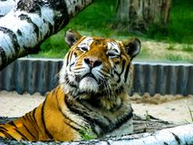 Beautiful tiger - detail on tiger head between the trees.  royalty free stock photos