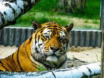 Beautiful tiger - detail on tiger head between the trees.  stock photos