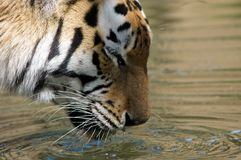 Beautiful tiger drinking Stock Photography