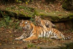 Beautiful tiger family are resting Stock Photo