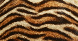 Beautiful Tiger fur background texture. Closeup of beautiful tiger real fur coat background texture pattern Stock Image