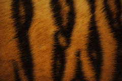 Beautiful tiger fur colorful texture with orange, beige, yellow and black royalty free stock images