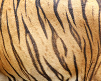 Beautiful tiger fur Royalty Free Stock Image