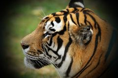 Beautiful tiger head stock images