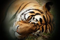Beautiful tiger head. Close up with vignette Stock Image