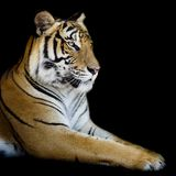 Beautiful tiger - isolated on black background Stock Image