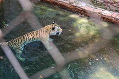 Beautiful tiger landscape inside the water stock photos