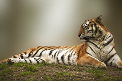 Beautiful tiger laying down on grassy bank Royalty Free Stock Photo