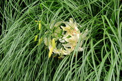Beautiful Tiger Lilies tucked in tall green grass Stock Photo