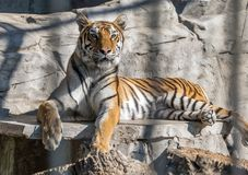 Beautiful tiger and the menacing grin of teeth. Beautiful tiger and the menacing grin of teeth Stock Photography